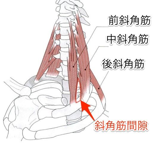 The scalene muscle